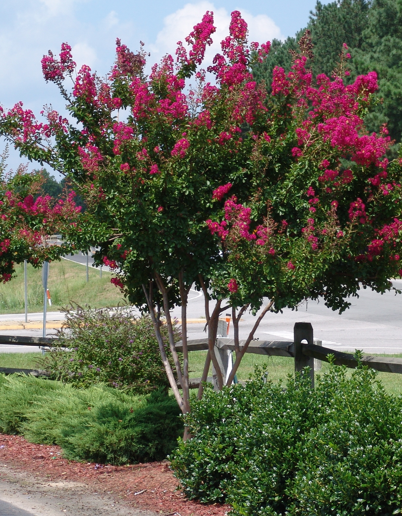 How Should I Prune My Crape Myrtle