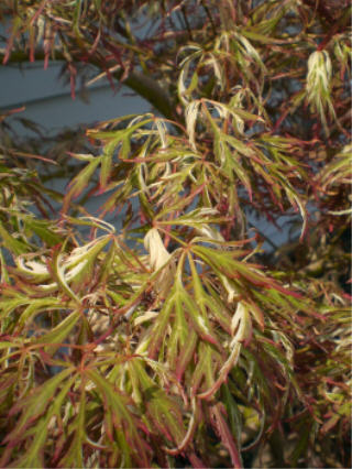 Goshiki Shidare Japanese Maple