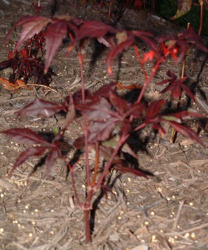 Compact Japanese Red Maple