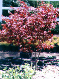 Japanese Red Maple grown from seed