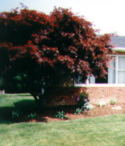 Upright Japanese Red Maple Tree