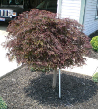 Red Laceleaf Weeping Japanese Maple