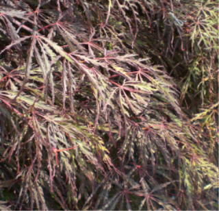Super Red Laceleaf Weeping Japanese Maple