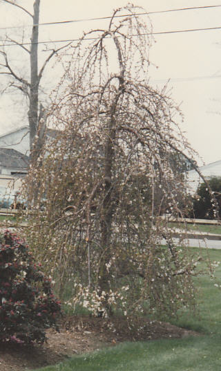 Bottom Graft Weeping Cherry
