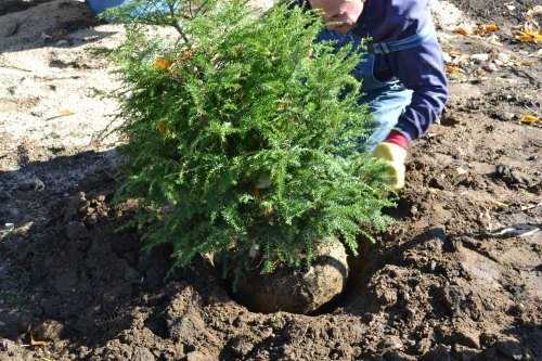 Caring for and Planting a Balled in Burlap Christmas Tree