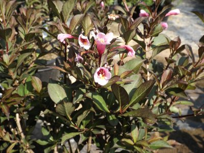Java Red Weigela