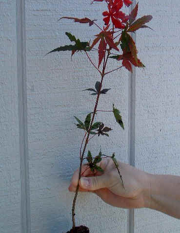 Japanese Red Maple Seedling