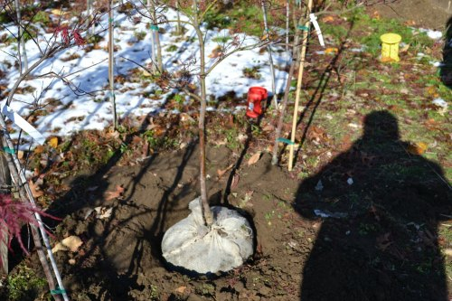 Planting a balled in burlap tree