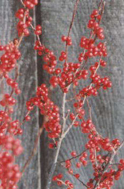 Winterberry Holly Ilex Verticillata